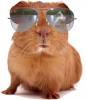 guinea-pig-wg
